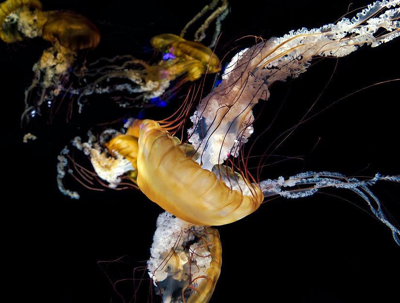 Jelly fish jelly.jpg