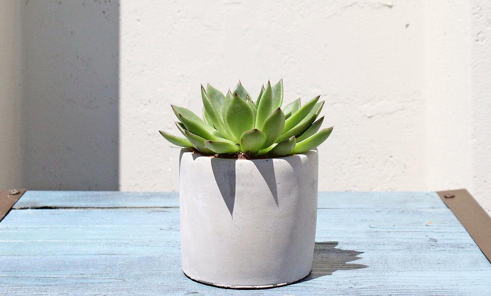 """Succulent - 4"""""""