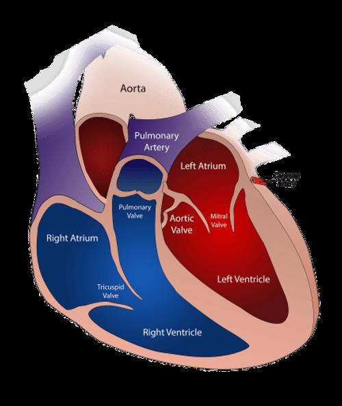 Heart Valve - Breath And Beats