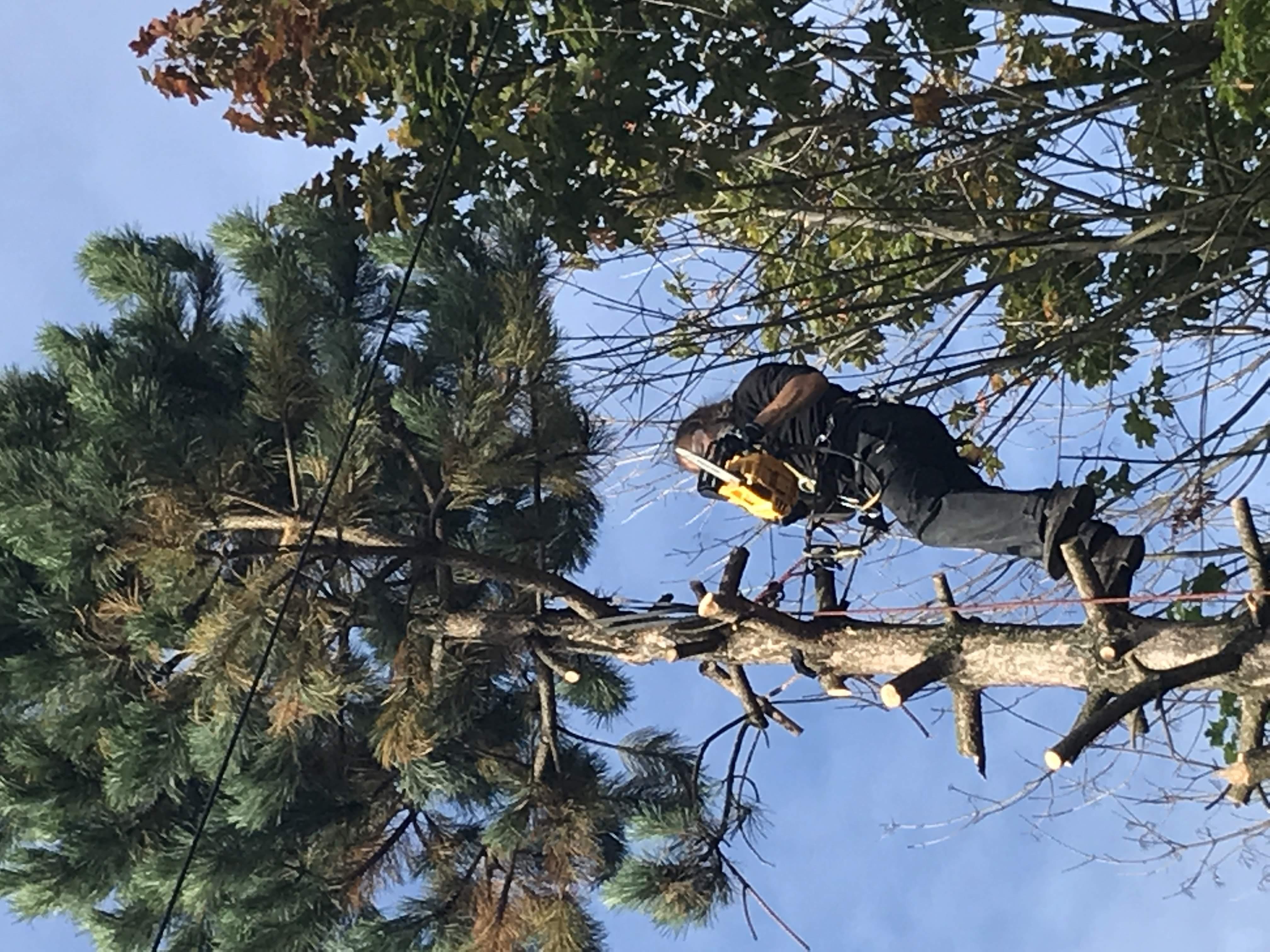 Kácení borovice