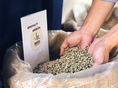Sampling Tonkin green coffee beans