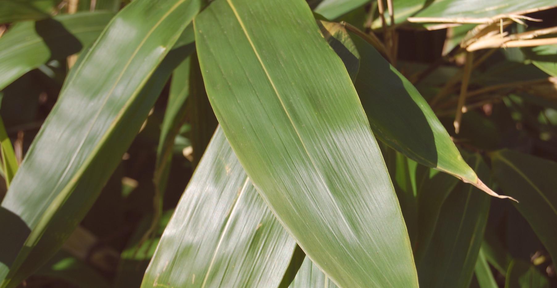 indocalamus-tessellatus-leaf copy.jpg