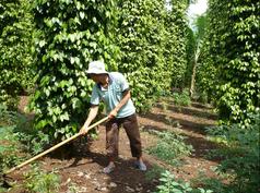 Pepper farmer at Tonkin