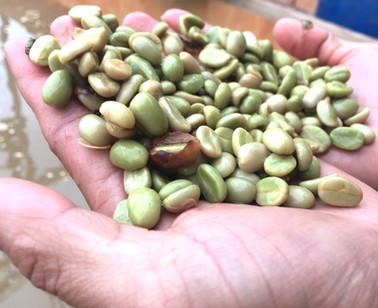 Tonkin Green coffee beans