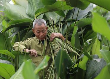 Harvesting natural leaf