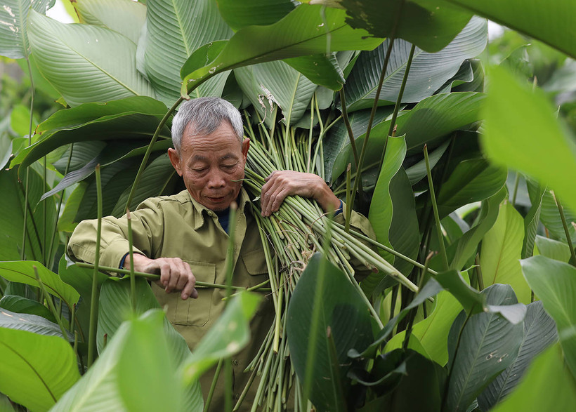 Harvesting natural leaf