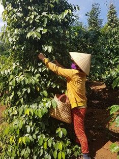 Farmer at Tonkin pepper farm
