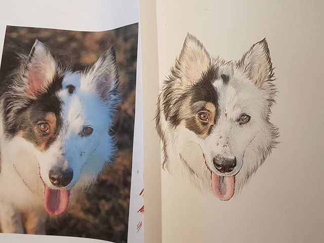 Nearly finished Sam's drawing #colouredpencilart #canineartist #canineart #dogdrawing #laurawrightar