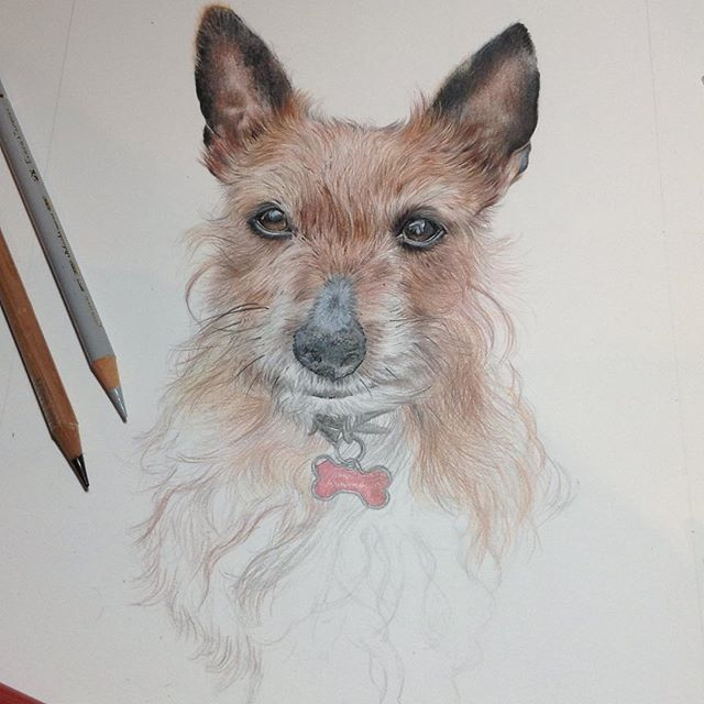 Update on sprouts drawing, terrier hair proving tricky! Lots of layers #colouredpencilart #colouredp