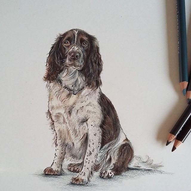 First drawing of 2016 finished! #spanielsofinstagram #colouredpencil #prismacolor #dogart #spaniel #