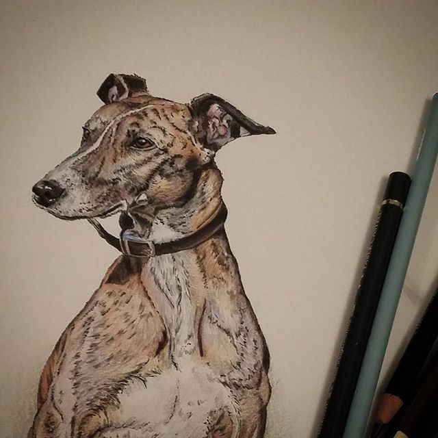 New drawing #lurcher #dogart #colouredpencil #polychromos