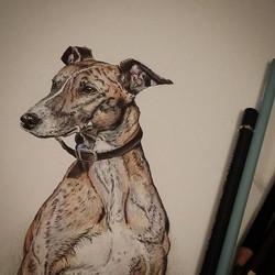 New drawing #lurcher #dogart #colouredpencil #polychromos