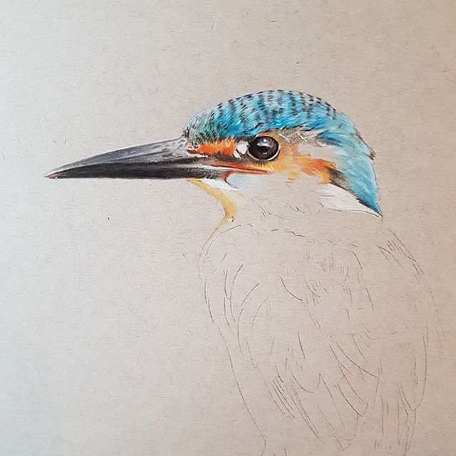 The start of a new drawing #kingfisher #colouredpencilartist #colouredpencil #carandacheluminance #f