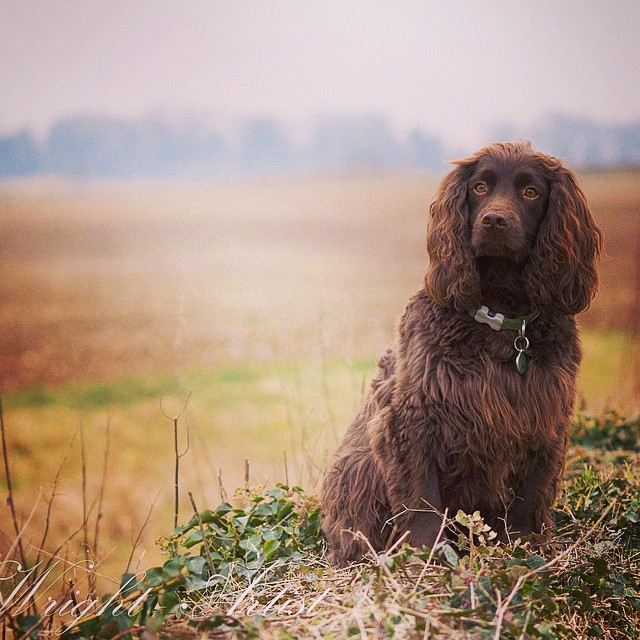 Ned the cocker! #spaniel#drawing#photography
