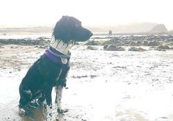 Beach spaniel #cornwall #wadebridge #sea