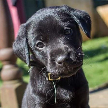 ❤❤❤Puppy Love❤❤❤ #labradorpuppy #dogphotography #puppy #dogart #laurawrightartist