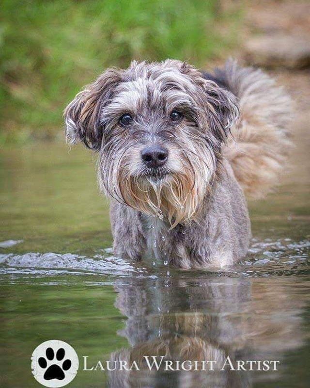 Toby! #goldenoldie #heinz57 #dogphotography #laurawrightartist