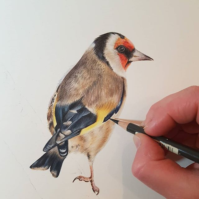 WIP Goldfinch study _amiehowardart  draw