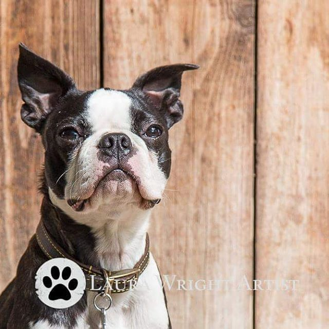 Elvis working the camera #bostonterrier