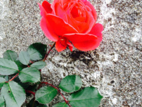 For roses that appear in stony places:thank you:thank you;thank you