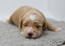Rosie 1 puppy 4 girl 2 weeksDSC_0364.jpg