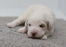 Rosie 1 puppy 1 girl 2 weeks DSC_0292.jp