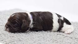 Pen 4 puppy 1 purple girl 1.5 weeks DSC_