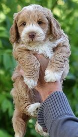Lucy 4 puppy 4 teal boy 6 weeks b DSC_01