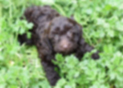 Adopt Labradoodle Puppies