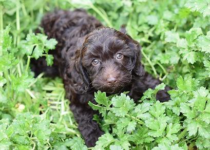 Adopt Labradoodle Puppies