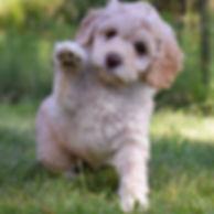Labradoodle Adoption Information