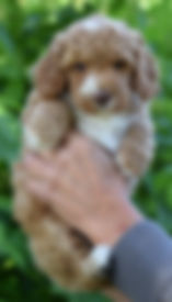 Lucy 4 puppy 2 purple 6 weeks DSC_0108.j