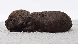 Pen 4 puppy 5 green boy 1.5 weeks bDSC_0