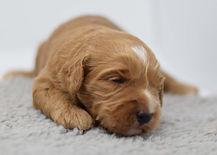 Rosie 1 puppy 3 boy 2 weeksDSC_0347.jpg