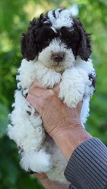 Lucy 4 puppy 5 green parti boy 6 weeks D