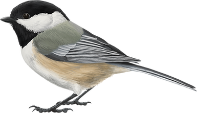 Black-capped-Chickadee (1).png