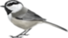 Mountain-Chickadee (1).png