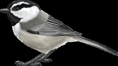 Mountain-Chickadee (1).png