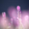 Lavendel.png