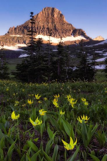 Glacier Lilies