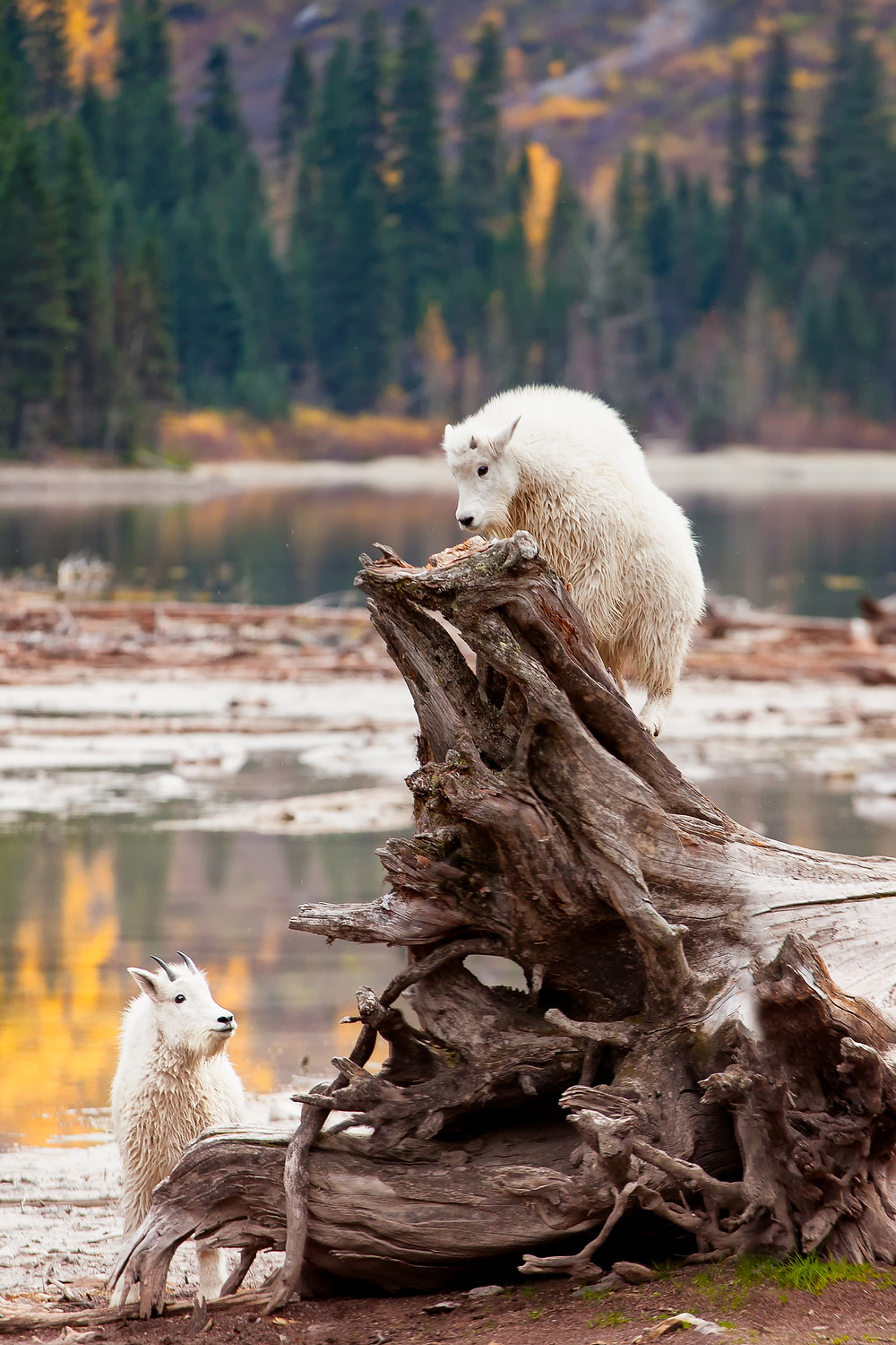 Young mountain goat kids playing on a fallen log at Avalanche Lake, Glacier National Park, Montana