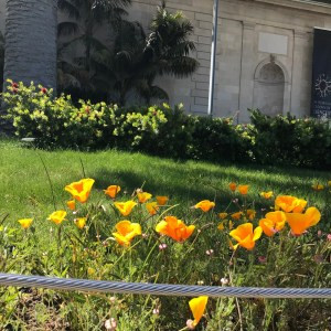 photo of orange california poppies in front of the Academy of Sciences in San Francisco, California