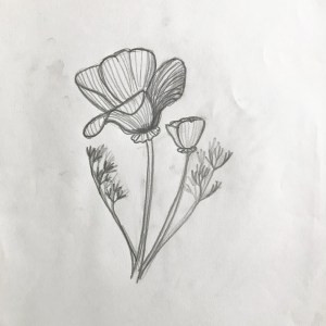 pencil sketch of california poppy flower
