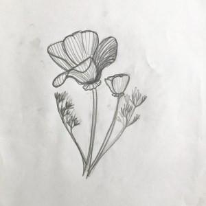 pencil sketch of california poppy flower