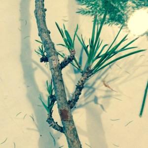 pine close up