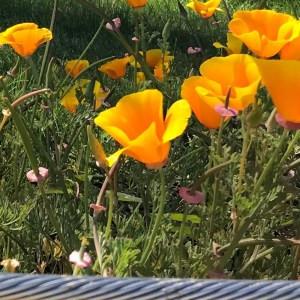 close up shot of california orange poppy