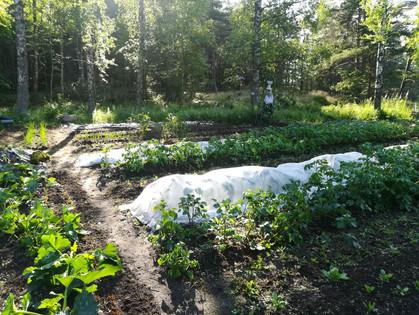Vasikkasaaren pelto.jpg