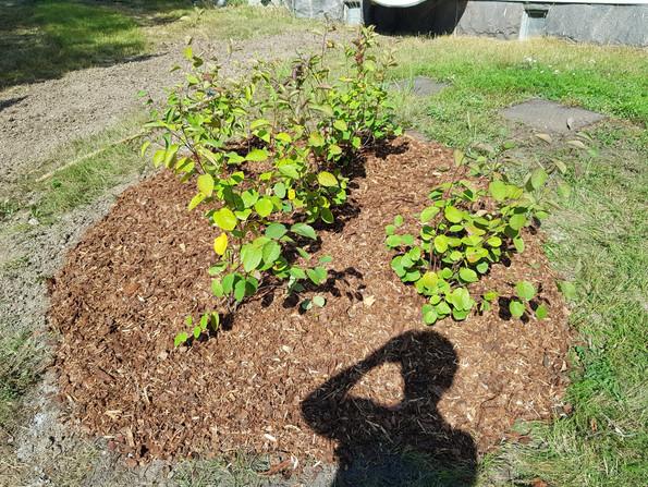 Kuorikatetta istutusten juurella.jpg