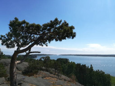 Mänty Kasavuoren huipulla.jpg