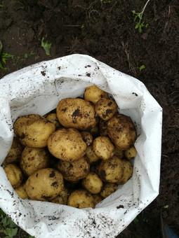Uudet perunat.jpg
